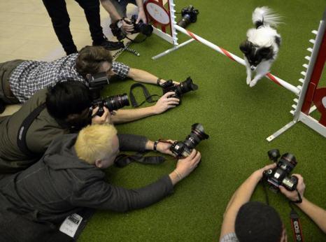 Папильон (собака-бабочка) проходит через полосу препятствий на пресс-конференции в нью-йоркском «Мэдисон Сквер Гарден» 15 января. Фото: TIMOTHY CLARY/AFP/Getty Images