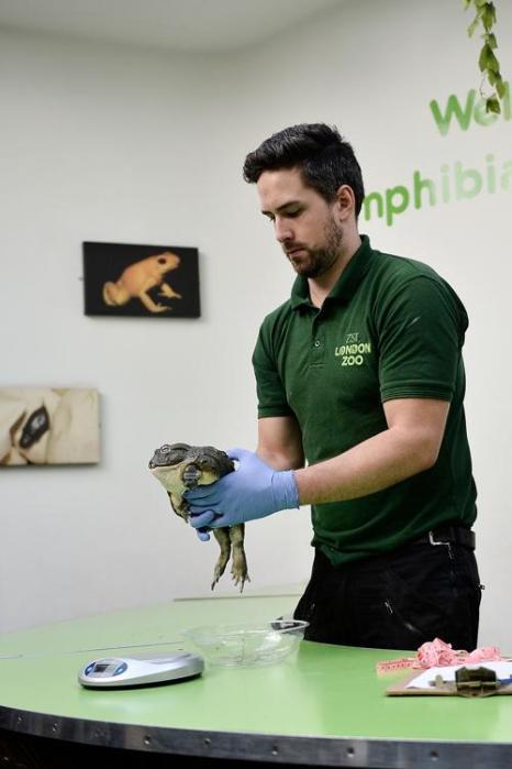 Африканская лягушка-бык (400 г) прошла процедуру взвешивания в Лондонском зоопарке 21 августа 2013 года. Фото: Bethany Clarke/Getty Images