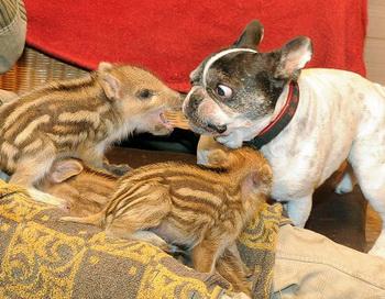 Приемной матерью для диких поросят стала бульдог. Фото: welt.de