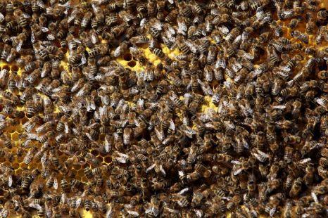 Пчёлы. Фото: Miguel Villagran/GettyImages