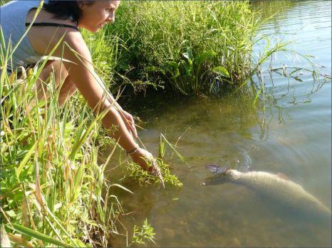 Зарыбление и пересадка белого амура. Фото с сайта rybhoz-senezh.ru/fishin.