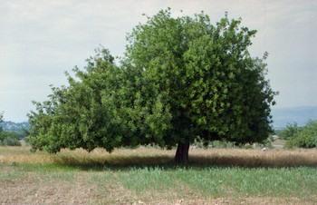 Рожковое дерево. Фото: 1.bp.blogspot.com