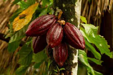 Высушенный тонизирующий шоколадный боб, растущий в стручке какао. Фото: Shutterstock*