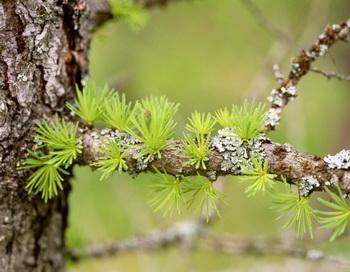 Основным компонентом препарата против атеросклероза является лиственница сибирская. Фото: Peter Lilja/Getty Images