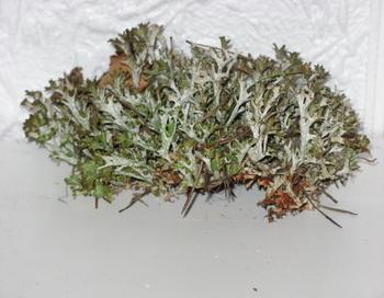 исландский мох, лекарство от кашля