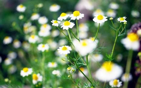 Чай из ромашки может стать естественным защитным барьером от различных форм рака. Фото: wallsfeed.com