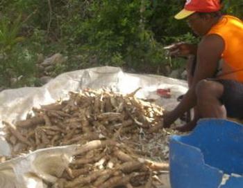 Маниок является отличным заменителем зерновых, содержащих клейковину. Фото: Мэги САНЕР/Великая Эпоха