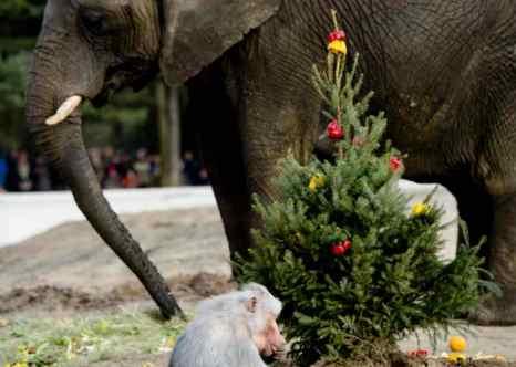 Рождественская ёлка в зоопарке. Фото: ROBIN VAN LONKHUIJSEN/AFP/Getty Images