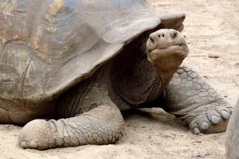 Символ Галапагосских островов - гигантская черепаха. Фото: Бернд Крегель