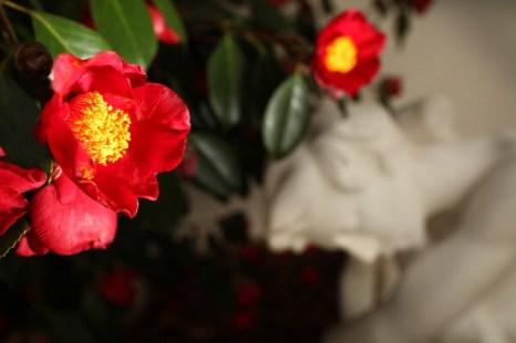 Камелии в Чизик-хаусе. Фото: Peter Macdiarmid/Getty Images