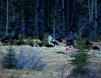 У каждого волчьего клана есть воронья семья. Вороны предупреждают об опасности, играют со щенками и им разрешается лакомиться добычей. Фото с сайта epochtimes.de