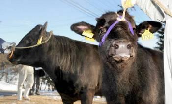 Эти два клонированных быка идентичны со своим отцом, который умер в 1993 г. Его сперма в глубокозамороженном состянии сохраняется в центральной Японии. Университет Кинки в Осаке, Япония успешно разработал технологию клонирования. Фото: STR/AFP/Getty Images