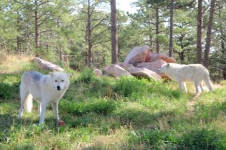 Волки были истреблены в 48 штатах по финансируемым государством программам. Их отстреливали, ставили капканы, травили. Отравленные трупы волков привели к гибели хищных птиц. В результате расплодились грызуны, которые уничтожили посевы. Фото: Myriam Moran