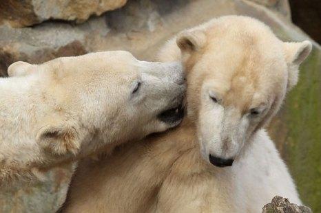 Медведь-лирик.Выражение симпатии. Фото:Getty Images