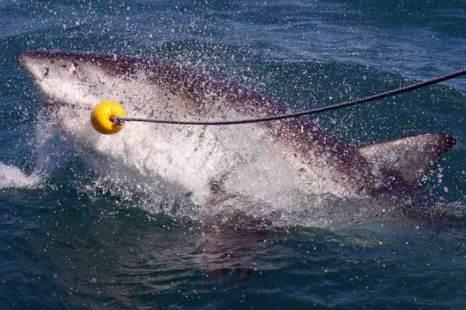 Большая белая акула поймана. Фото: Dan Kitwood/ Getty Images