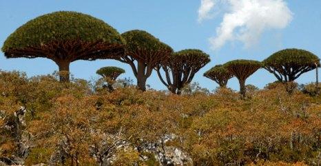 Деревья «Кровь дракона». Фото: KHALED FAZAA/AFP/Getty Images