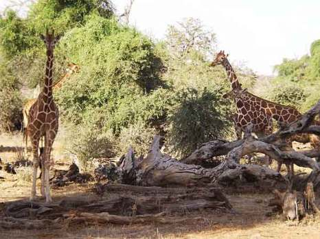 Заповедник Самбуру в Кении. Фото: Луис Оньони, Кения