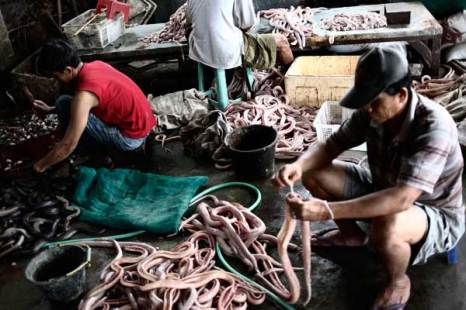 Цех по производству змеиного мяса. Фото: Ulet Ifansasti/Getty Images