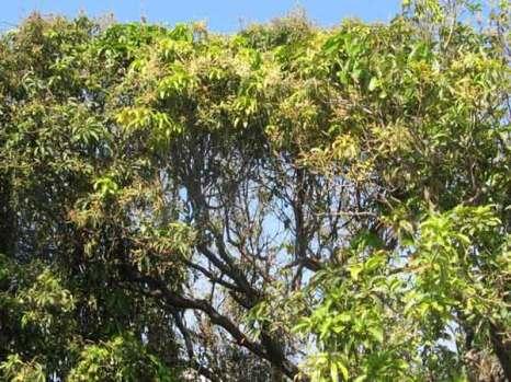 Дерево манго.  Фото: Татьяна Виноградова/Великая Эпоха