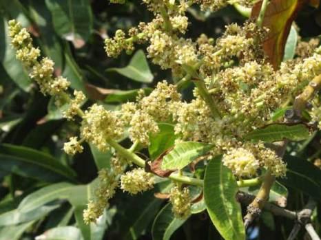 Из этих цветов вырастут плоды манго.  Фото: Татьяна Виноградова/Великая Эпоха