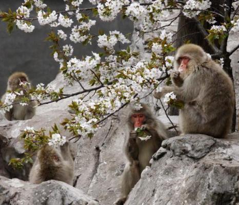 Фестиваль Черри Блоссом (Cherry blossom) - время цветения японских вишен – это своеобразный праздник. Токийский зоопарк, Япония. Фотообзор. Фото:  Getty Images
