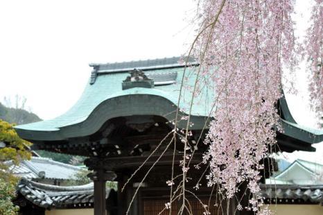Фестиваль Черри Блоссом (Cherry blossom) - время цветения японских вишен – это своеобразный праздник. Киото, Япония. Фотообзор. Фото:  Getty Images