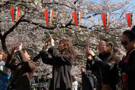 Фестиваль Черри Блоссом (Cherry blossom) - время цветения японских вишен – это своеобразный праздник. Токио, Япония. Фотообзор. Фото:  Getty Images