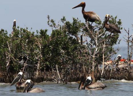 Разрастающееся нефтяное пятно в Мексиканском заливе. Коричневые пеликаны, покрытые слоем нефти, плавают в водах залива. Фоторепортаж. Фото: Win McNamee/Getty Images
