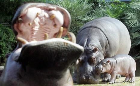 Детёныш бегемота в зоопарке Берлина. Фото: Sean Gallup/Getty Images