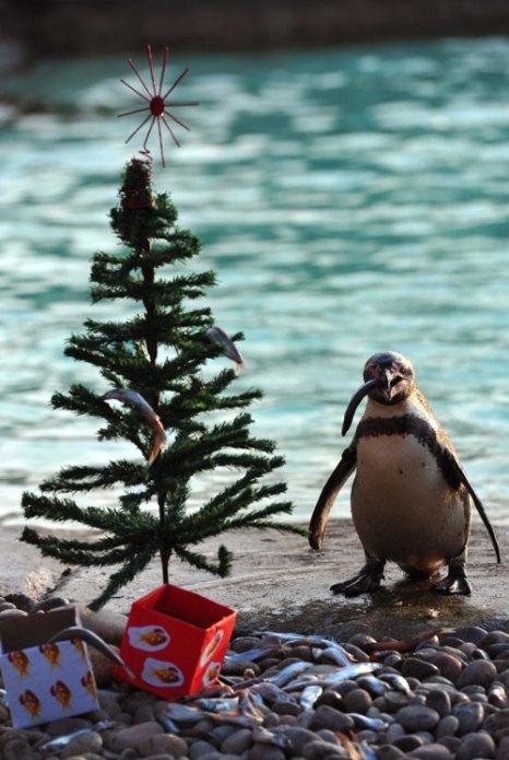 Пингвины угощаются рядом с новогодней елкой в Лондонском зоопарке. Фото: Carl Court/AFP/Getty Images