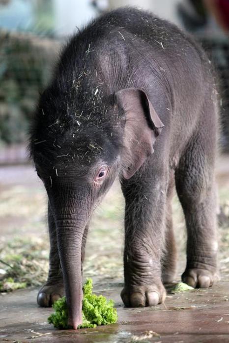 Слонёнок  Анчали родился в Берлинском зоопарке. Фото: Adam Berry/Getty Images