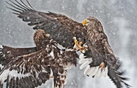 Беркут решает  не рисковать лишний раз  и отступить, т.к. в данной ситуации преимущество явно на стороне орлана-белохвоста. Фото: Ричард Костин