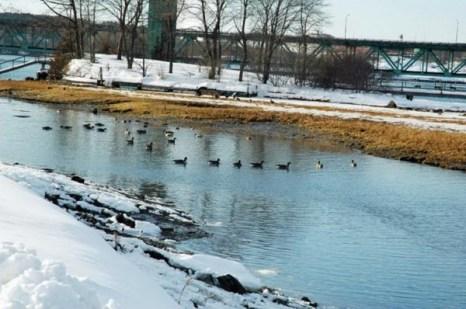 Стая канадских гусей оседает тут на зиму. Наверное они думают: это Флорида! Фото: Мэри Байром