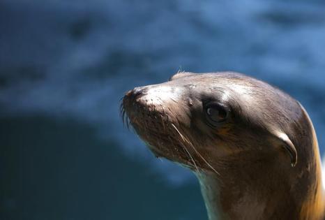 В Калифорнии за 3 месяца спасли 900 морских львов. Фото: Justin Sullivan / Getty Images