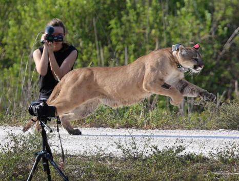 Пантеру Флориду выпустили в дикую природу. Фото: Joe Raedle / Getty Images