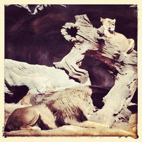 Львы в зоопарке Хагенбек (Германия). Фото: Joern Pollex/Getty Images