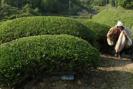 Сбор чая удзи проходит в горах Уджитавара в Японии. Фото: Buddhika Weerasinghe/Getty Images