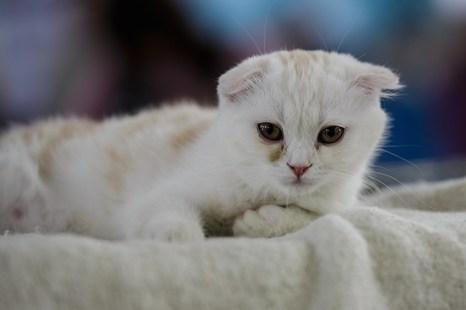 Портрет современного кота. Скотиш фолд. Фото: Сергей Кузьмин/Великая Эпоха (The Epoch Times)