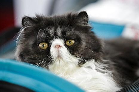 Портрет современного кота. Фото: Сергей Кузьмин/Великая Эпоха (The Epoch Times)