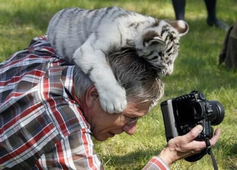 Детеныш бенгальского тигра в западногерманском  городе Билефельд заинтересовался камерой фотографа. Фото с kanzhongguo.com