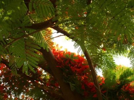 Огненное дерево. Фото: Хава Тор/Великая Эпоха (The Epoch Times)