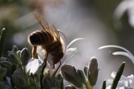 Миндаль, анемоны, розмарин и… пчёлы. Фото: Хава Тор/Великая Эпоха (The Epoch Times)
