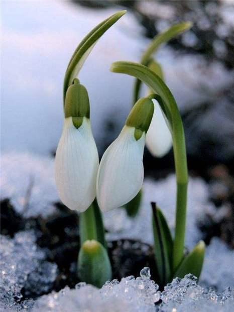 Весна, цветы, подснежники. Фото:xaxor.com