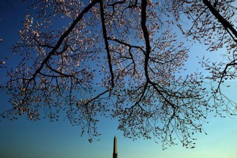 В столице США начала распускаться вишня. Фото: Win McNamee / Getty Images