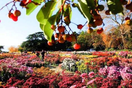 «Бал хризантем» в Никитском ботаническом саду. В обрамлении земляничника мелкоплодного. Фото: Алла Лавриненко/Великая Эпоха (The Epoch Times)