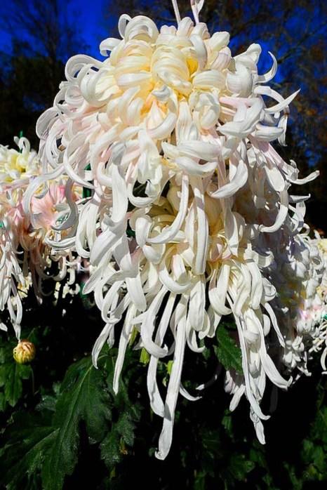 «Бал хризантем» в Никитском ботаническом саду. Сорт «Белый пудель».  Фото: Алла Лавриненко/Великая Эпоха (The Epoch Times)