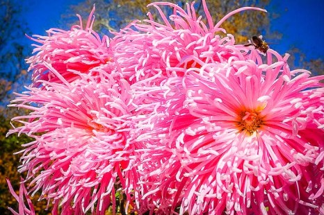 «Бал хризантем» в Никитском ботаническом саду. Сорт Rayonnant Pink. Фото: Алла Лавриненко/Великая Эпоха (The Epoch Times)