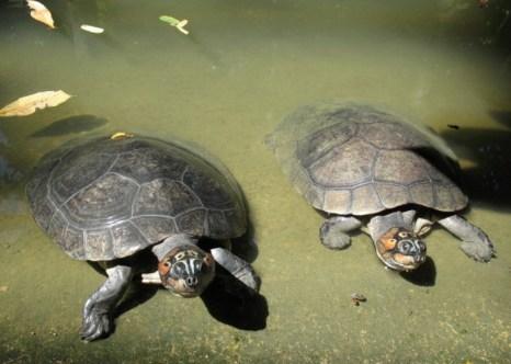 Амазонская черепаха в тропическом лесу Амазонки. Фото: Shutterstock