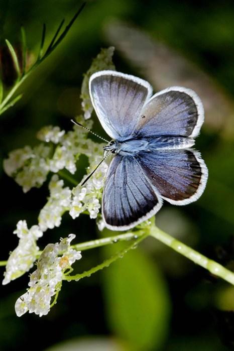 Макро. Бабочка голубянка. Фото: Нина Апёнова/Великая Эпоха (The Epoch Times)
