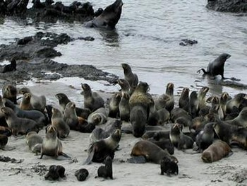 Морские котики на Командорских островах. Фото с beringisland.ru